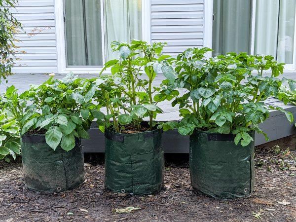growing potatoes in garden bags