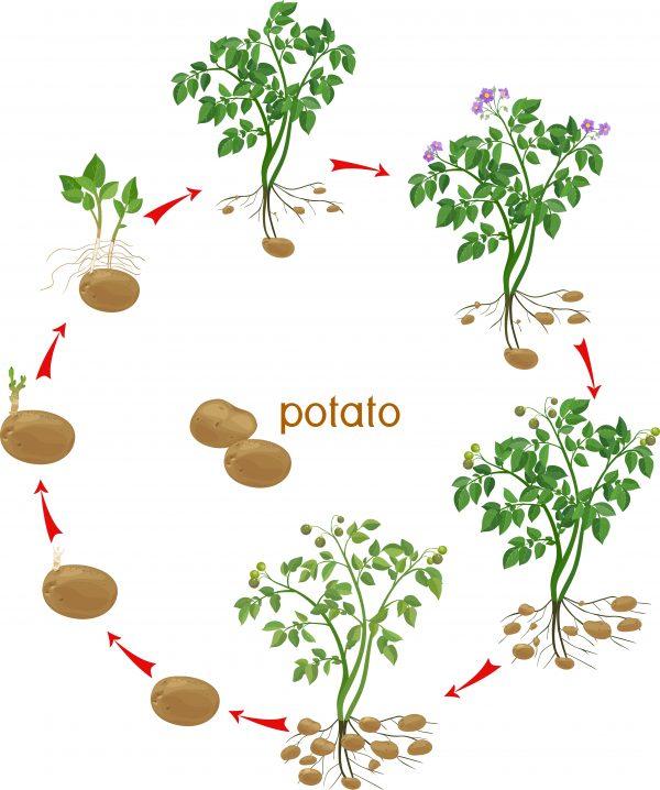 how potatoes grow