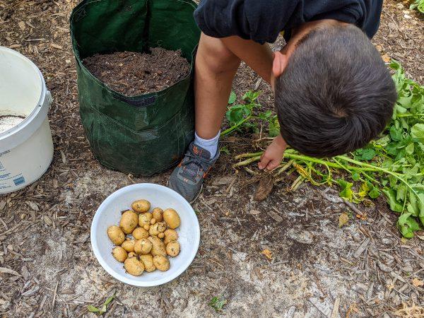 picking potatoes for vegetable garden for kids