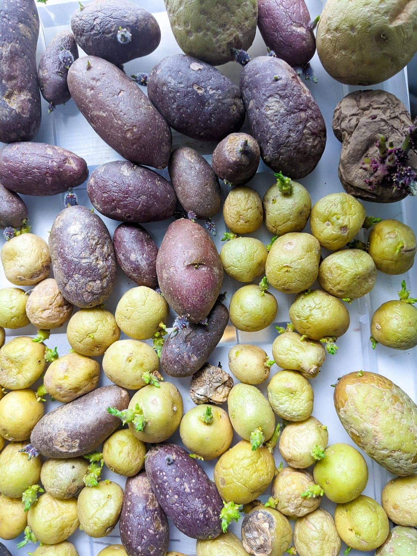 potatoes grown in kids vegetable garden