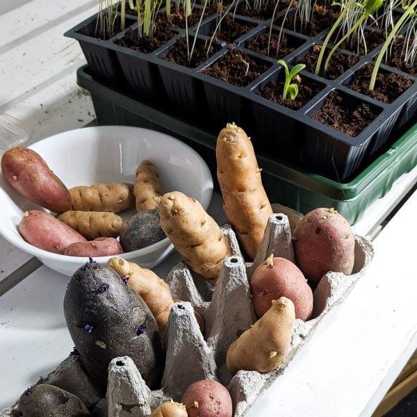 varieties of homegrown potatoes